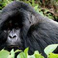 Bwindi-Impenetrable-Forest-Gorilla-Uganda