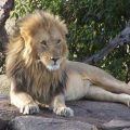 Masai-Mara-National-Reserve-Kenya-lion
